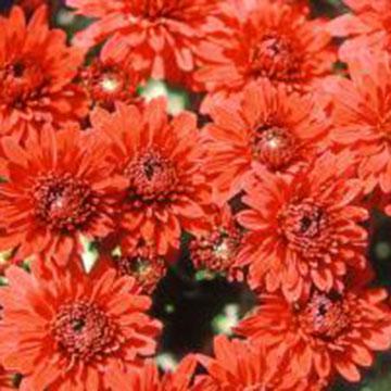 Leuchtende Chrysanthemen für den Garten