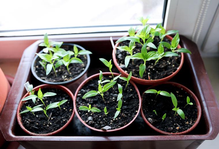 Gemüsevorziehen
