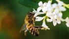 Fleißige Bienenvölker vor dem Aussterben schützen