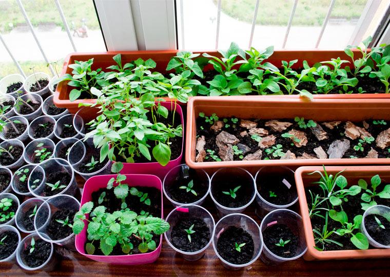 Auf der Fensterbank Gemüse vorziehen