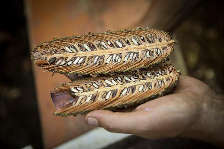 Samen einer Nordmanntanne