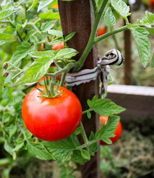 Tomate Hochbeet