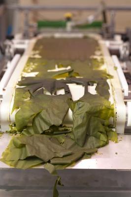 Nachhaltige Alternative für Agrosprit: Schnellwachsende Algen