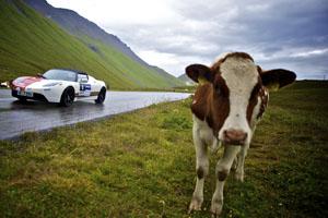 Eine Kuh an der Rallyestrecke