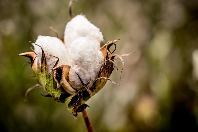 Unternehmen verwendet bald nur noch nachhaltig angebaute Baumwolle