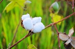 Der Baumwoll-Anbau ist wasserintensiv und mühselig © samer chand/ iStock/ Thinkstock