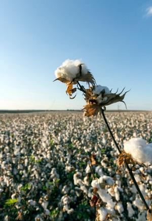 Hier wächst Baumwolle. © Adam_Sh/iStock/Thinkstock
