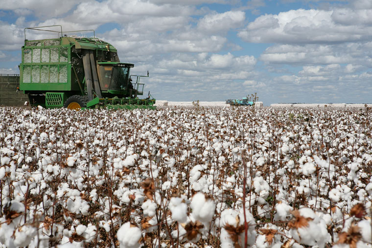 Einsatz von Glyphosat auf Baumwollplantage