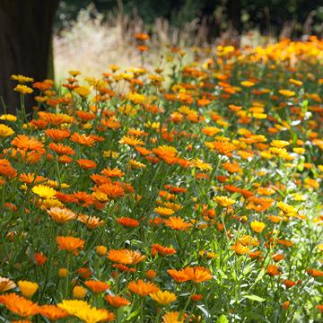 Die heilende Wirkung der Ringelblume