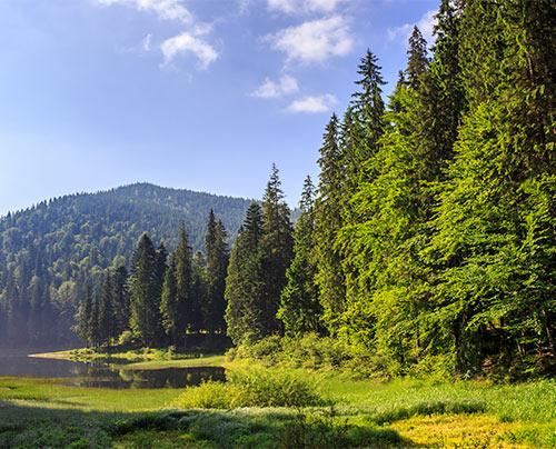 Kiefernwald am See