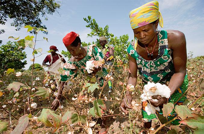 Die Baumwolle wird von Kleinbauern angepflanzt und geerntet. © Cotton made in Africa