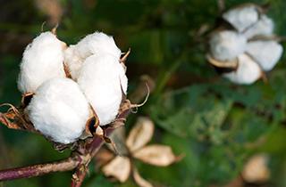 Biobaumwolle - der Umwelt und Gesundheit zuliebe