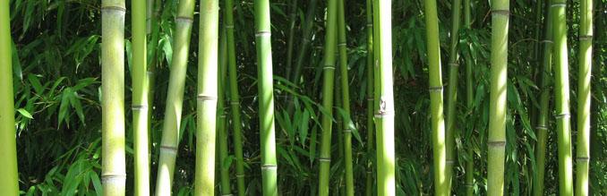 Bambus ist ein schnell nachwachsender Rohstoff