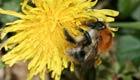 Top Ten der NABU Insektenzählung im Hochsommer