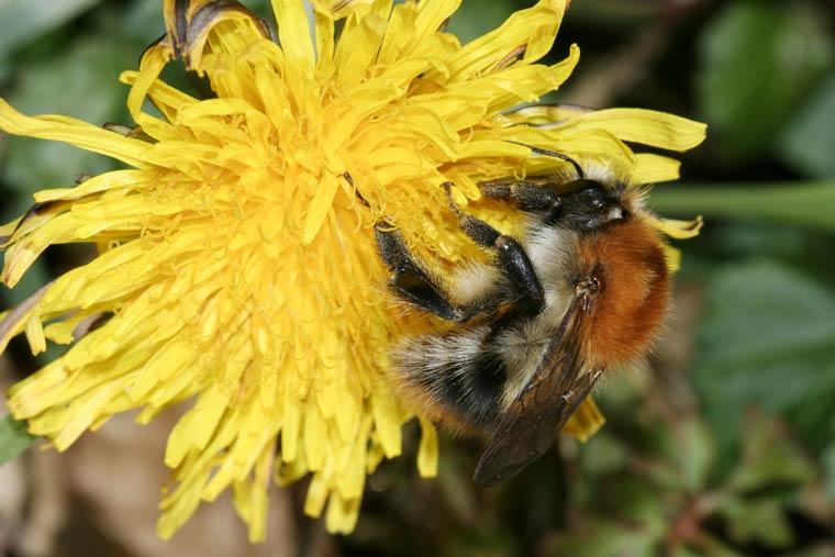 Ackerhummel belegt Platz Eins beim Insektensommer im August