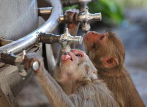 Wie diese Äffchen haben auch unsere Waldtiere einige ungewöhnliche Tricks gegen die Hitze © zanskar/ iStock/ Thinkstock