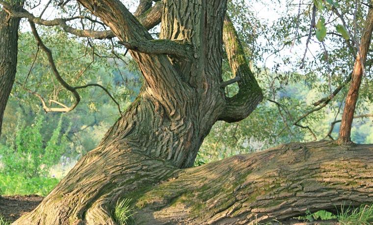 Sie sind die Veteranen unter den Bäumen: Alte Riesen begleiten die Menschen schon seit Jahrhunderten.