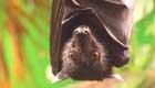 Fledermaus durch Windräder gefährdet