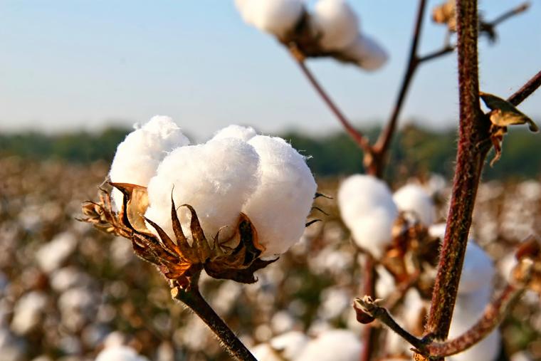 Das Geschäft mit der Baumwolle ist oft schmutzig