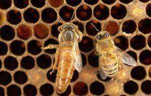 Millionen von Bienen sterben wegen Pestizide © heibaihui/ iStock/ Thinkstock
