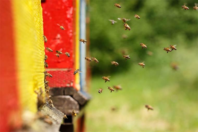 In Hessen steigt die Zahl der Bienenvölker rasant