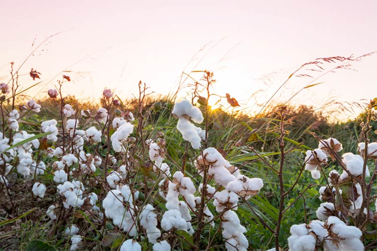 Baumwollfeld bei Sonnenaufgang