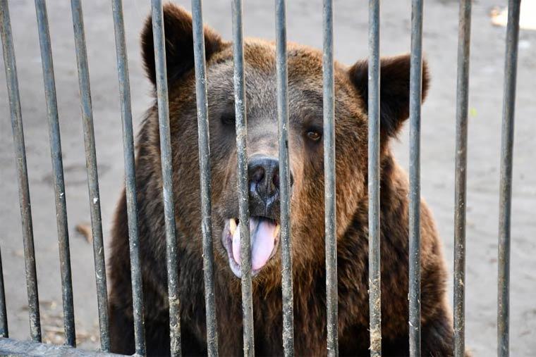 Braunbär in kleinem Käfig