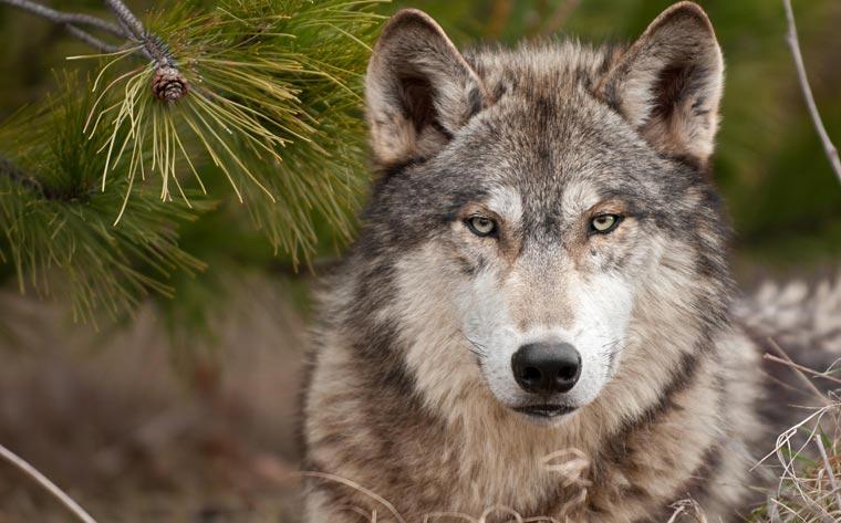 Nach einer langen Periode der annähernden Ausrottung gibt es derzeit wieder 31 Wolfsrudel in Deutschland, Tendenz steigend.