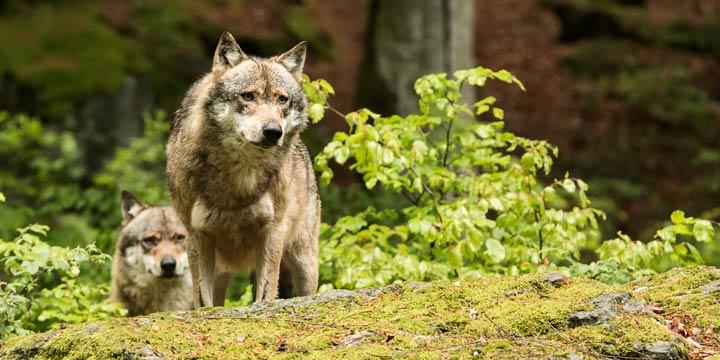 Mehrheit der Deutschen begrüßt Rückkehr der Wölfe