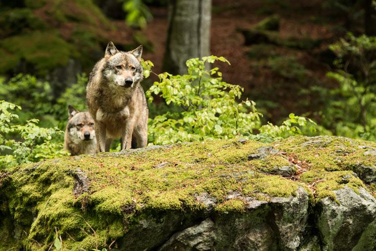 Mehrheit der Bevölkerung begrüßt Rückkehr der Wölfe
