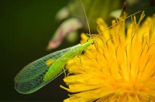 Florfliege - Hübscher Nützling vertilgt 500 Blattläuse
