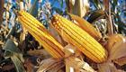 USA: Gen-Mais im Supermarkt