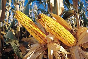 Biokunststoffe werden größtenteils aus Mais hergestellt