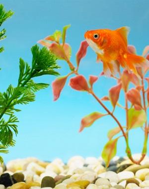 Statt WM-Ergebnisse schwimmt der Goldfisch jetzt wieder im Gartenteich © whitetag iStock/ Thinkstock