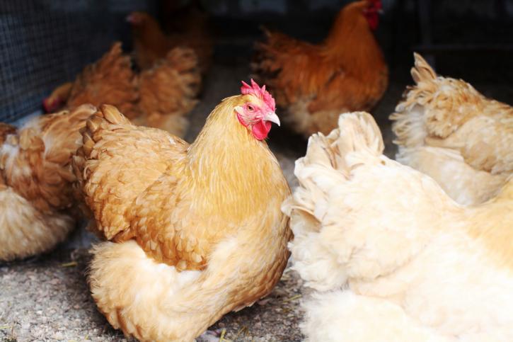 Hühnerhaltung © iStockphoto/ Thinkstock