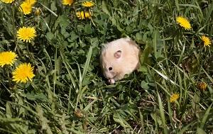 Hamster in der freien Natur mögen auch Wiesen, im Winter bevorzugen sie aber ihren Bau für den Winterschlaf©Hemera
