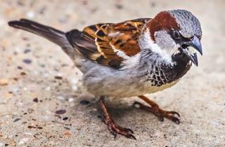 Sperling bleibt bei Stunde der Gartenvögel Sieger