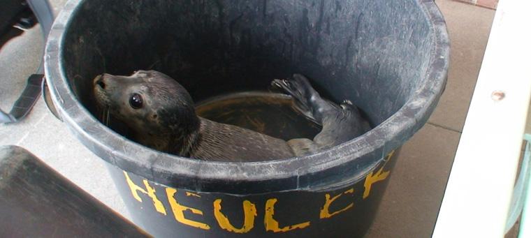 Die Rückkehr der Seehunde an die deutsche Nordseeküste
