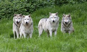 Illegaler Wolfsfang vor Gericht