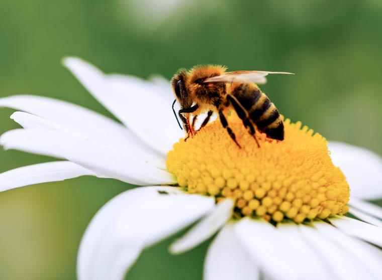 Insektizide tödlich für Bienen und Hummeln