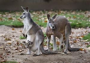 Eine Känguru-Mutter trägt ein Jungtier im Beutel, rechts mit im Bild ist hier der Vater, der Rote Riesenkänguru-Bock ?Klein Pepe?