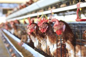 Hühner in Käfighaltung ist grauenvoll und sollte eigentlich auch mittlerweile verboten sein © CHAIWATPHOTOS/ iStock/ Thinkstock