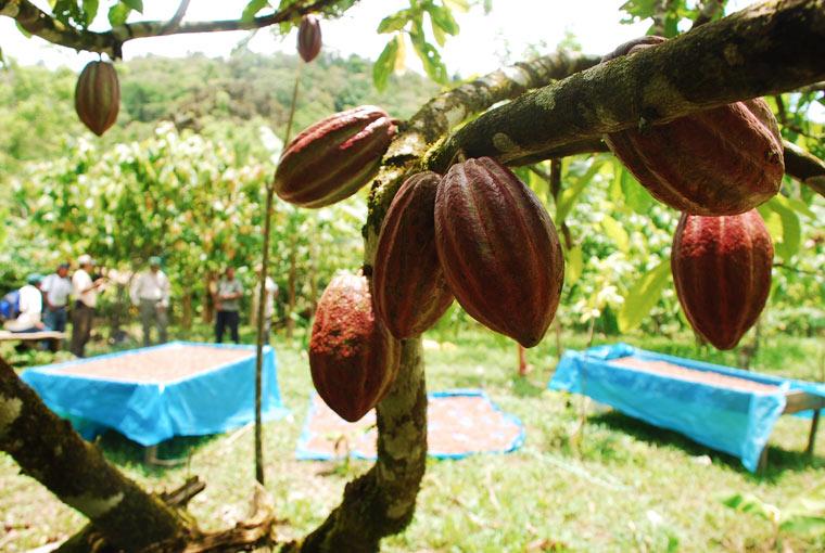 Kakaoanbau Honduras