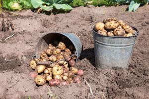Kartoffelsaatgut