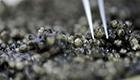 Fernsehtipp: Kaviar-Schmuggel gefährdet Störe