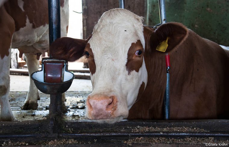 Milchkuhhaltung in Deutschland nicht artgerecht
