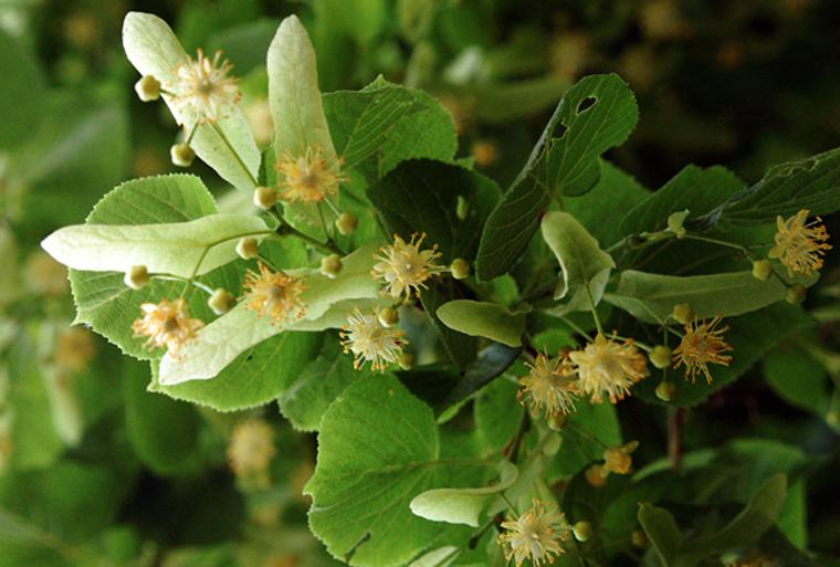 In der Naturheilkunde werden besonders Lindenöl und ihre Blüten geschätzt