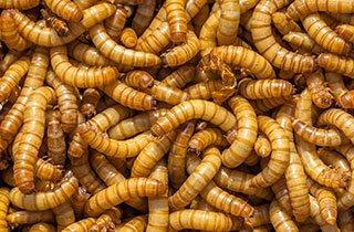 Mehlwürmer sind die Umwelthelden von morgen