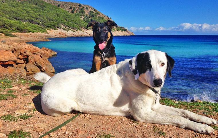 An mittlerweile fünf Stränden (Alcanada, Cala Blanca, Es Carnatge, Llenaire und Na Patana) sind Hunde ganzjährig erlaubt.