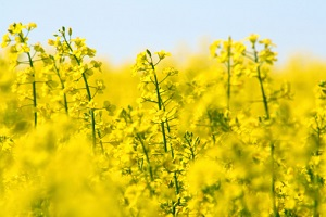 Aus für Genpflanzen © StefanieDegner/iStock/Thinkstock
